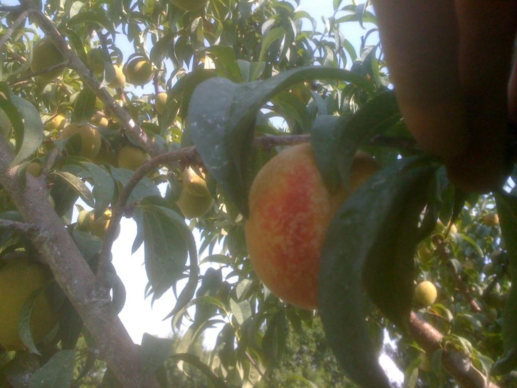 Home Grown Peaches