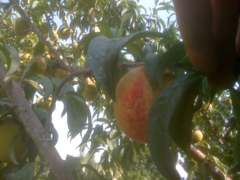 Home Grown Peaches